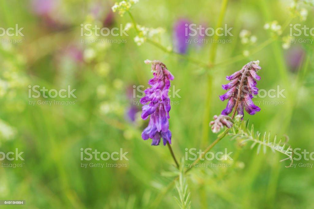 Wiesenblume Vogelwicke stock photo