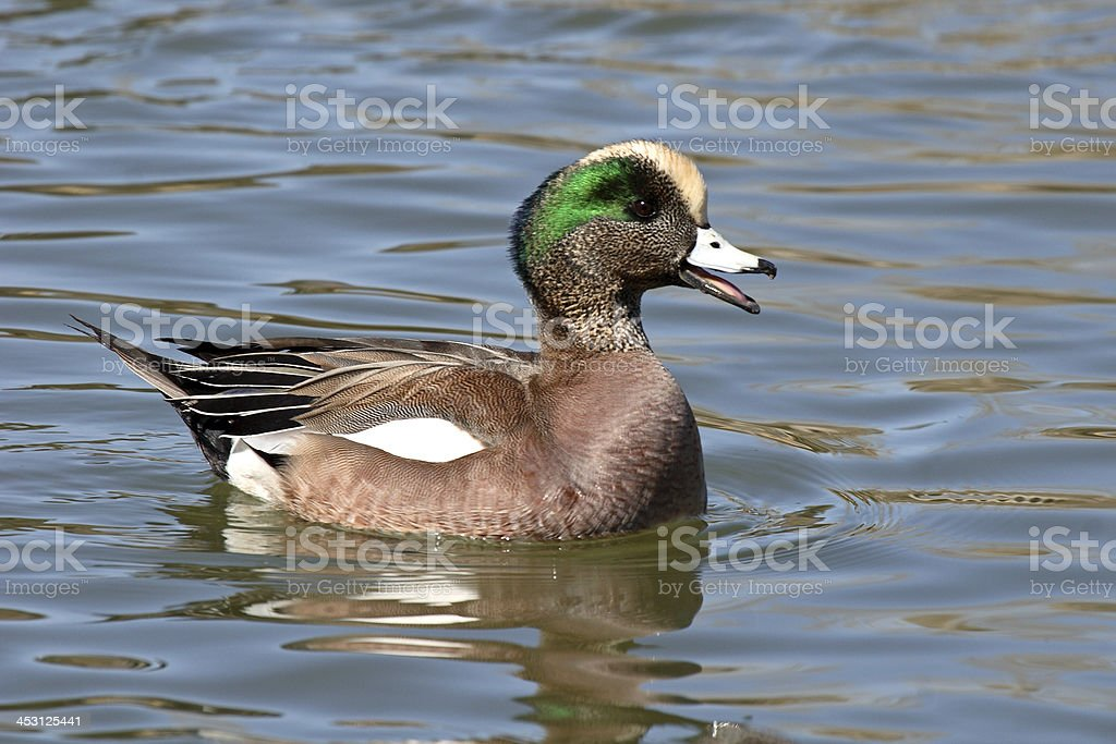 Wigeon Calling In Courtship stock photo