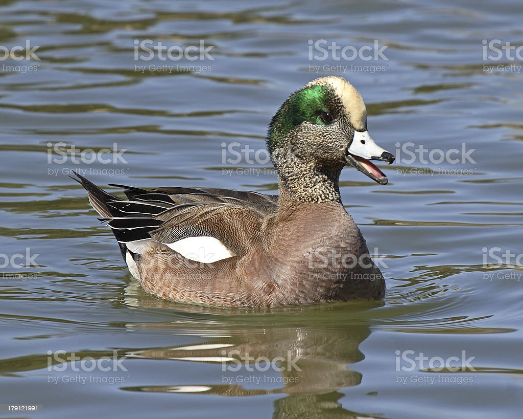 Wigeon Calling Out stock photo