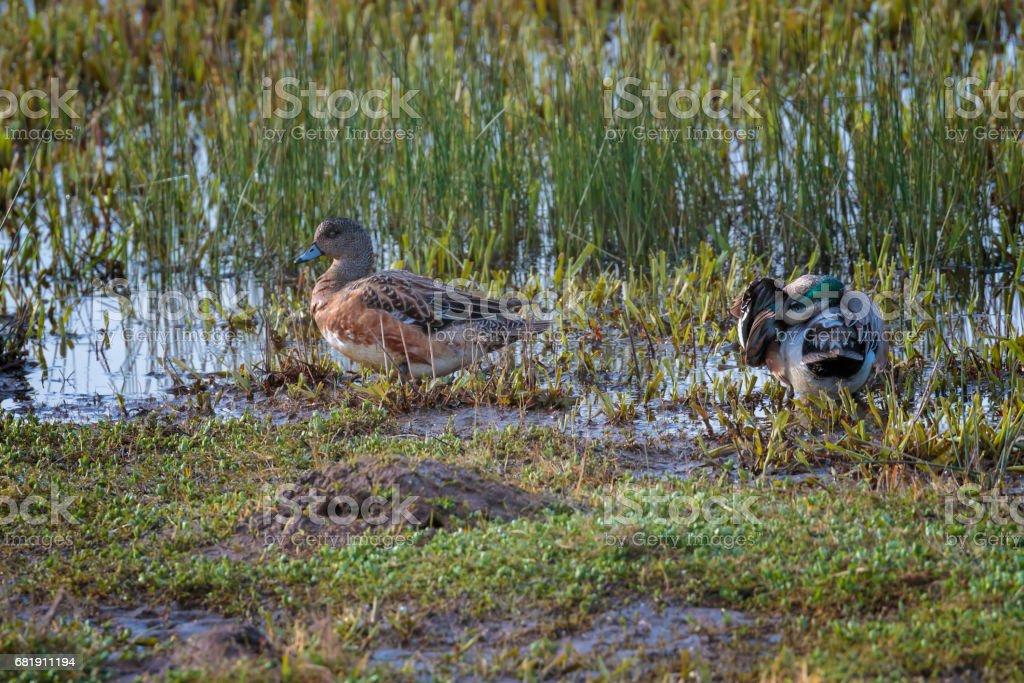 Wigeon Ducks in Shallow Wetland stock photo