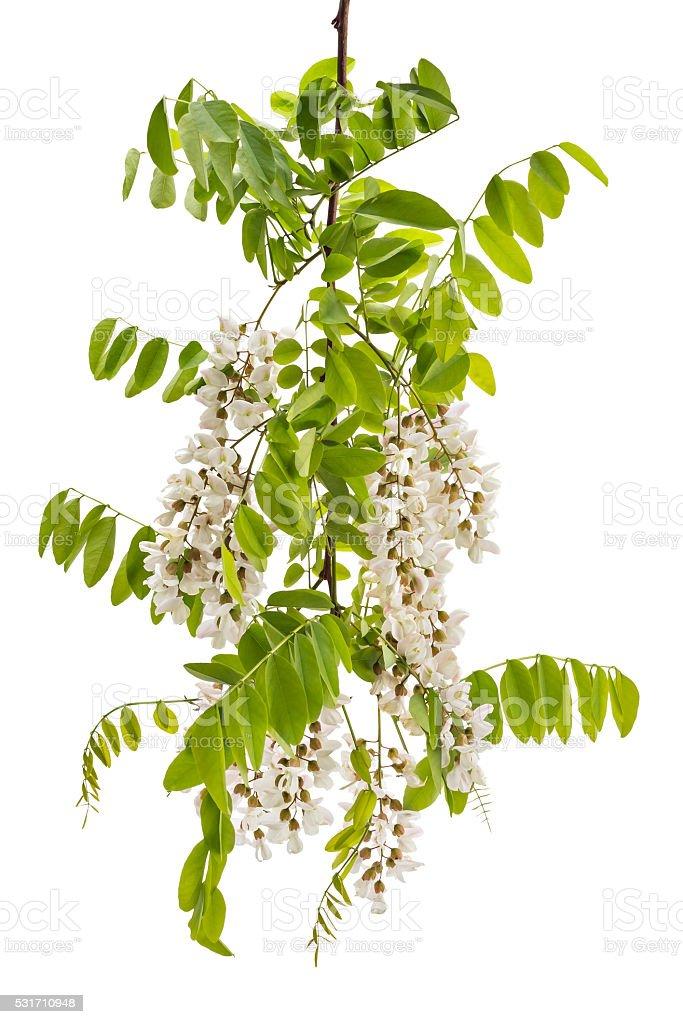 Wild acacia stock photo