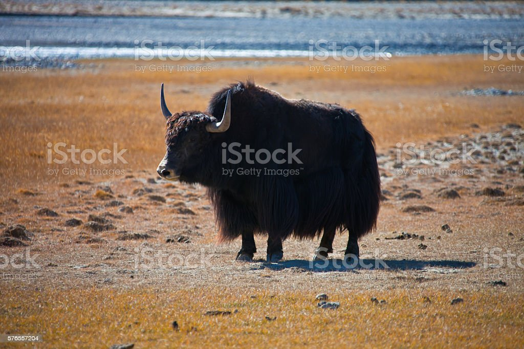 Wild adult male Yak is in the desert stock photo