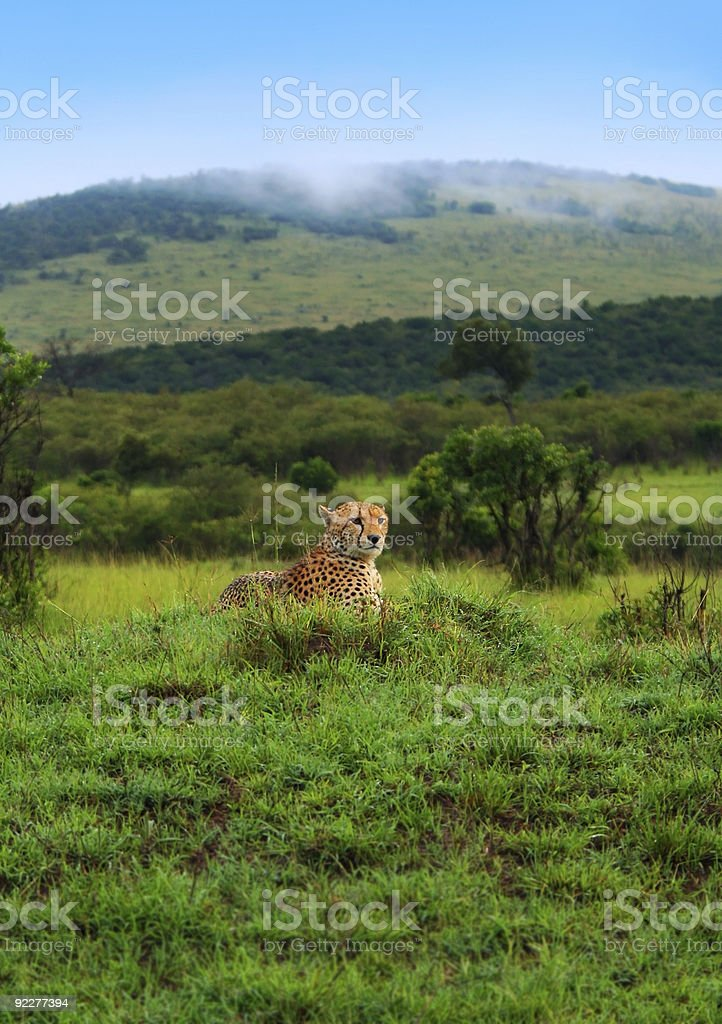 Wild african cheetah royalty-free stock photo