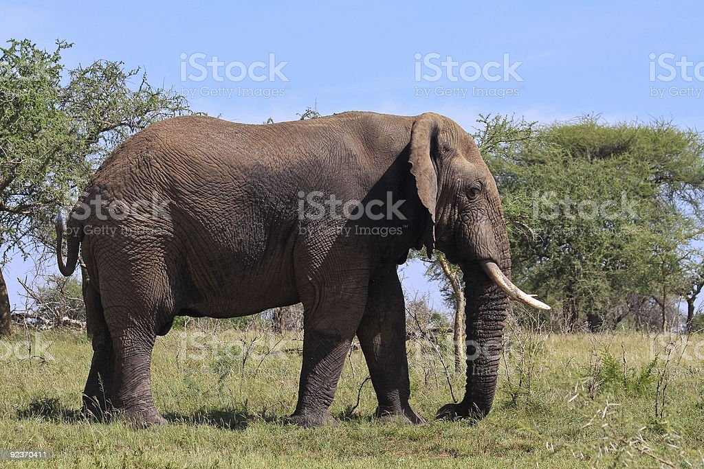 Wild African Elephant royalty-free stock photo