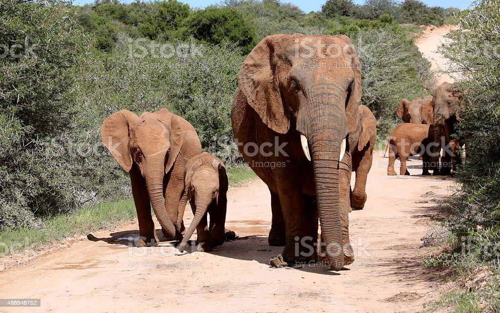 Wild African Elephant Tribe stock photo