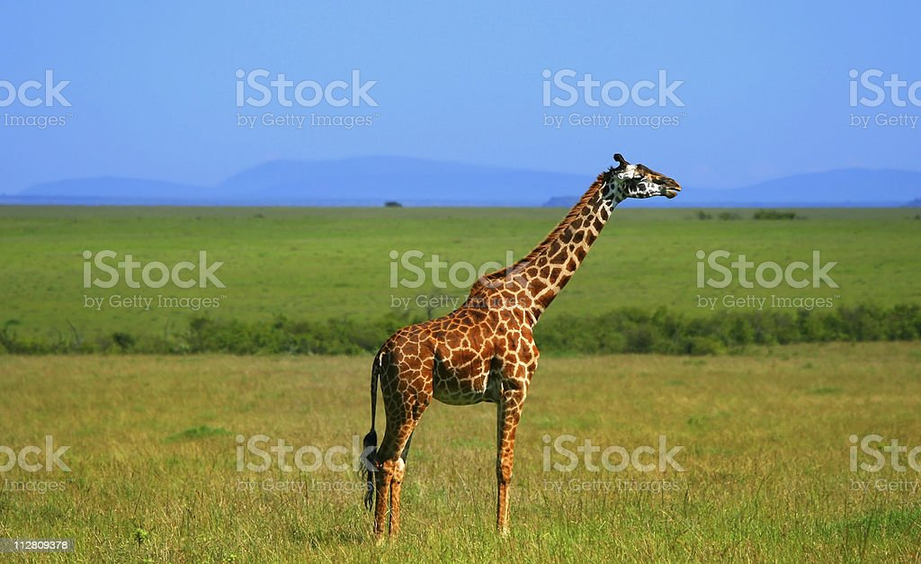 Wild African Giraffe royalty-free stock photo