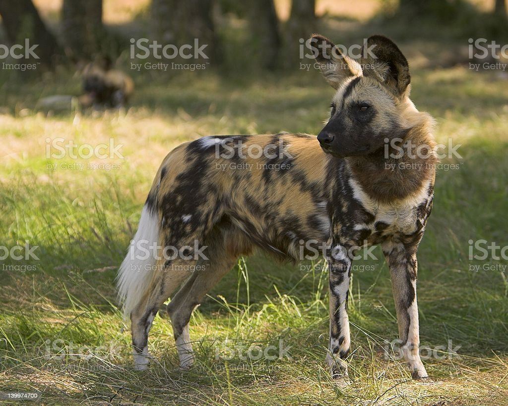 Wild African Hunting Dogs 9 royalty-free stock photo