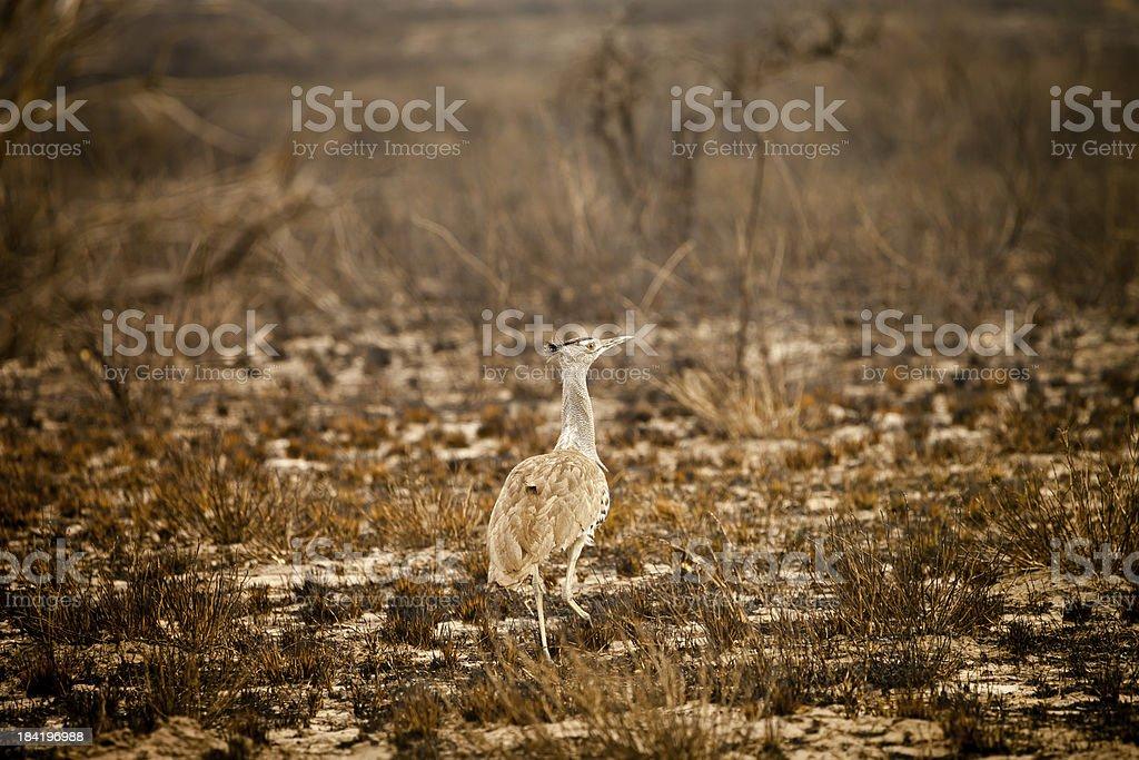 Wild African Kori Bustard royalty-free stock photo
