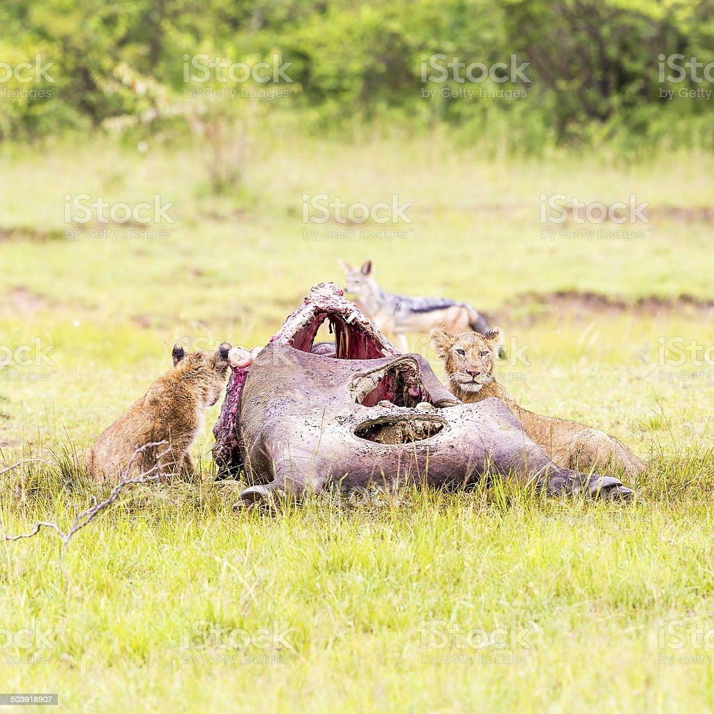 Wild African Lion calfs eating a freshly killed Buffalo stock photo
