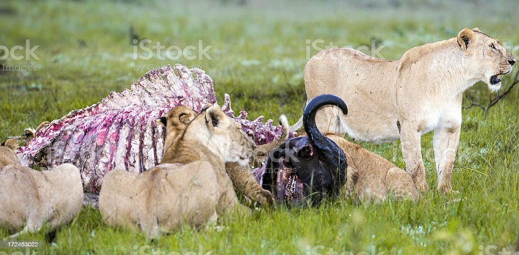Wild African Lion eating a freshly killed Buffalo royalty-free stock photo