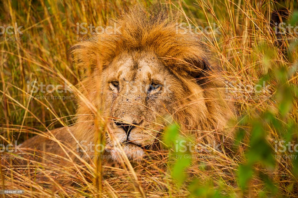 Wild African lion resting in the grass. stock photo