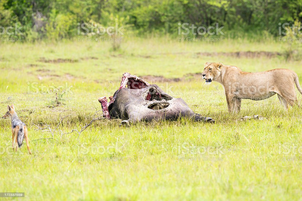 Wild African Lioness and Jackal royalty-free stock photo