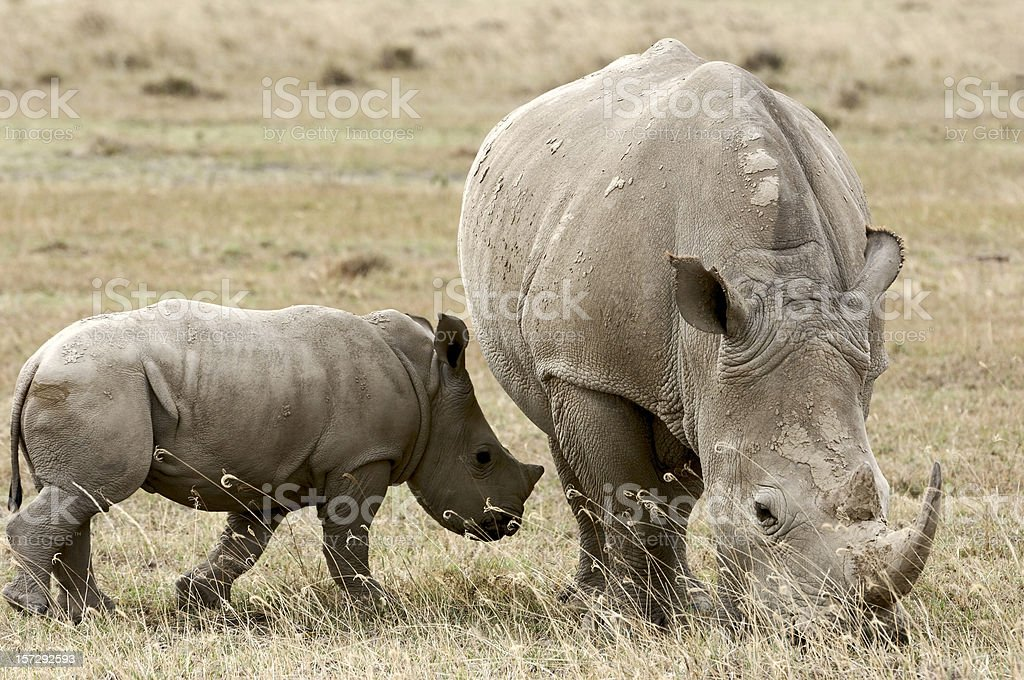 Wild African Rhino Mother and Baby Grazing On Lake Shore stock photo