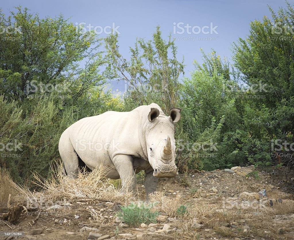 Wild African White Rhino, South Africa. stock photo
