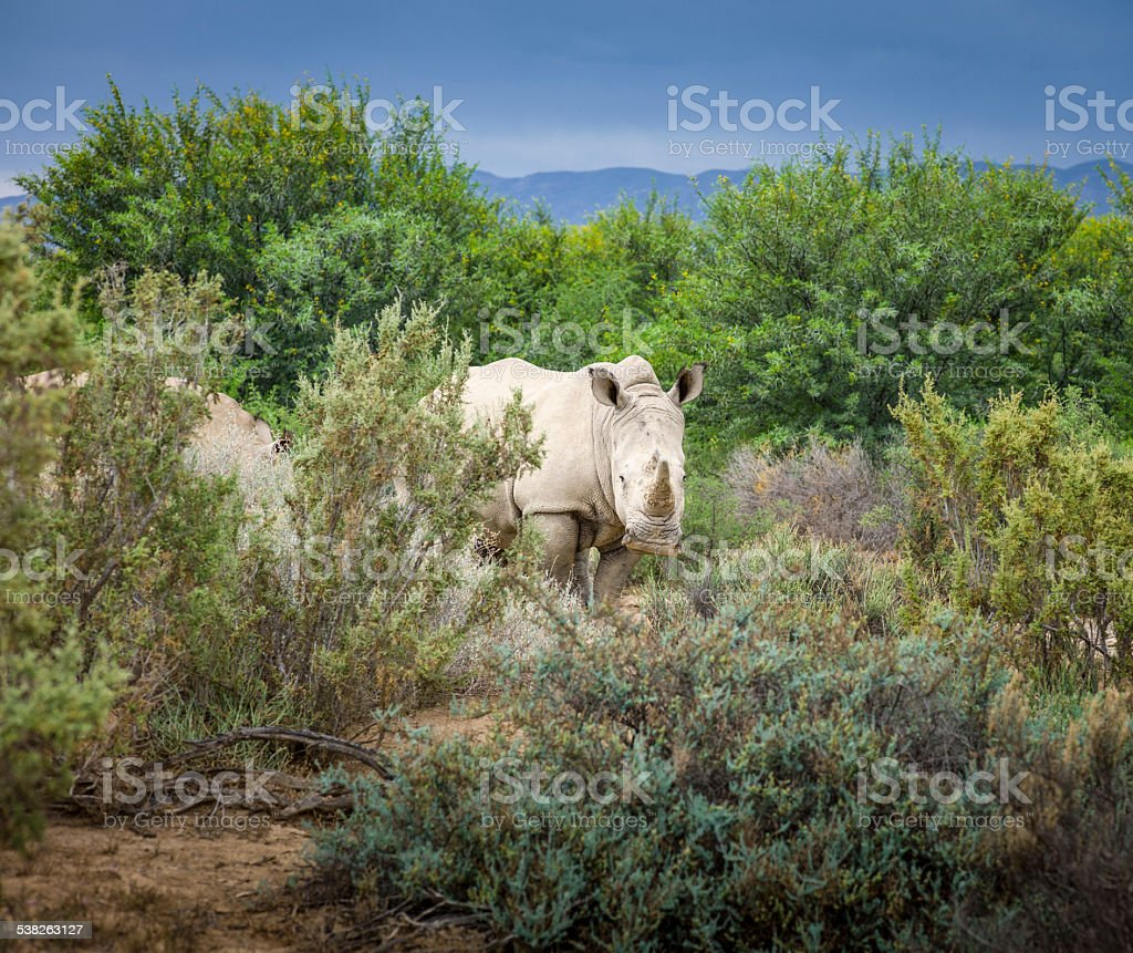 Wild African White Rhino, Western Cape, South Africa. stock photo