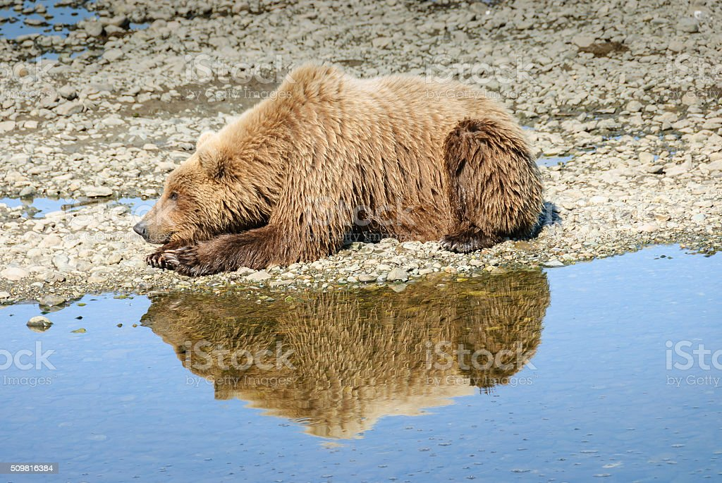 Wild Alaska Brown Bear with Reflection in River stock photo