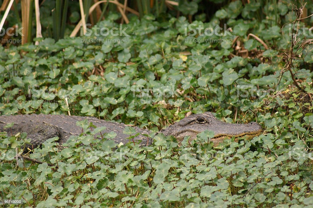 wild alligator in green stock photo