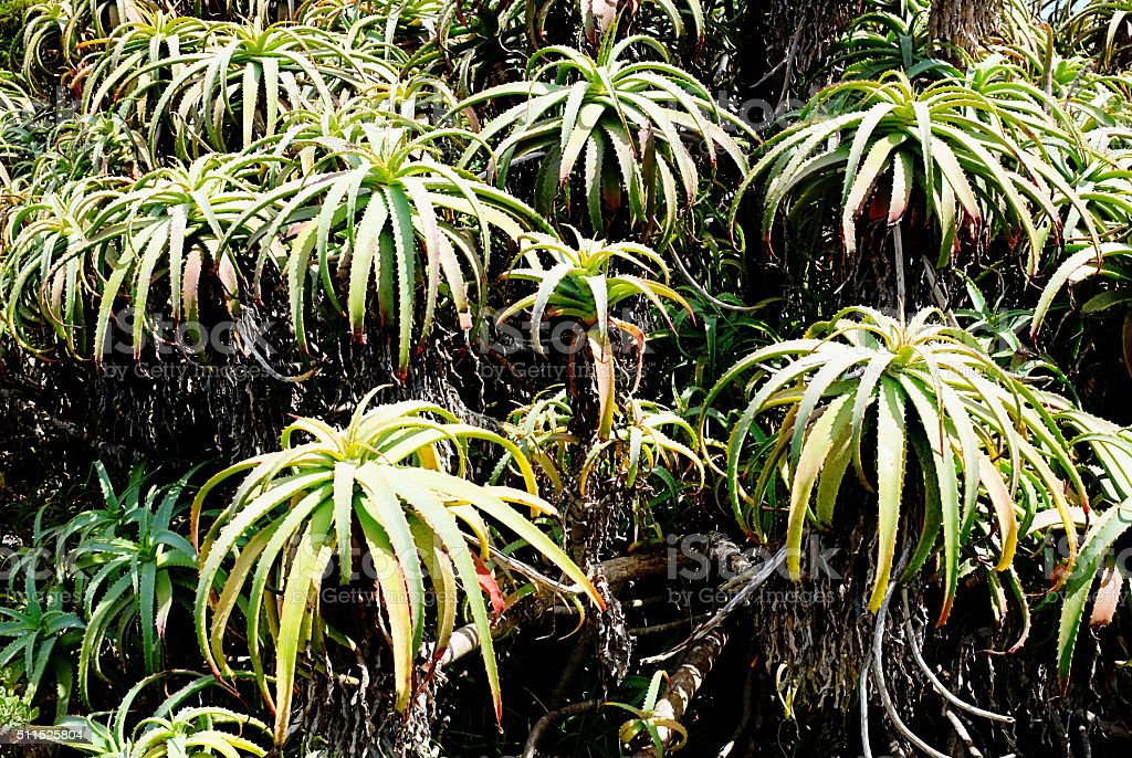 Wild aloes growing in South Africa's Western Cape stock photo