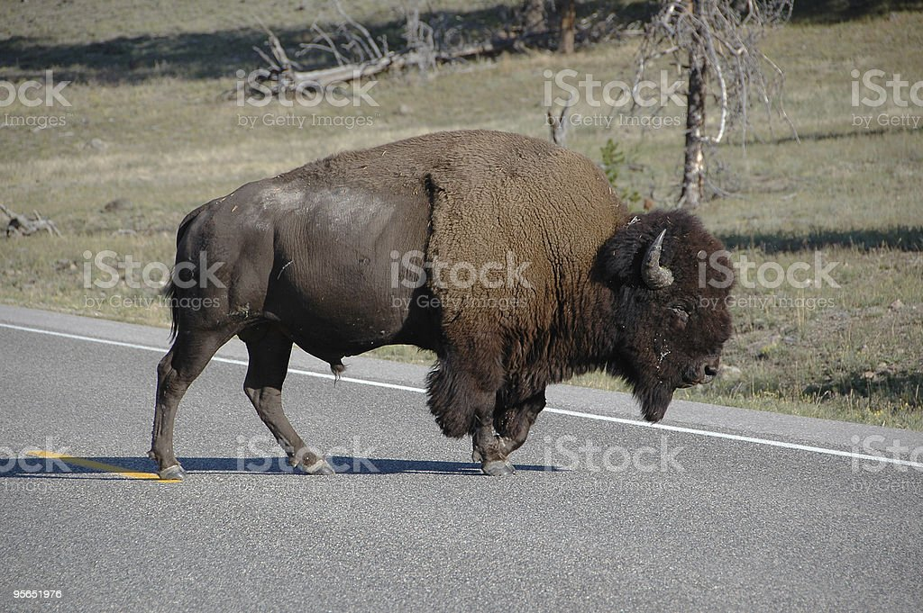 Wild American Bison Crossing Road in Yellowstone Park stock photo