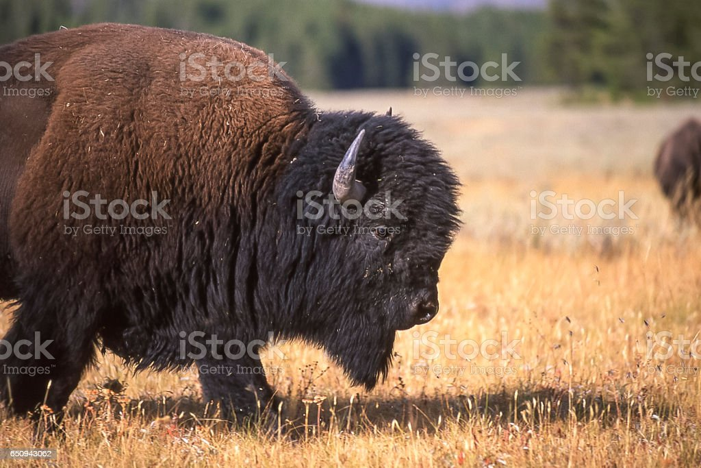 Wild American Bison Grazing on the Wyoming Grasslands stock photo