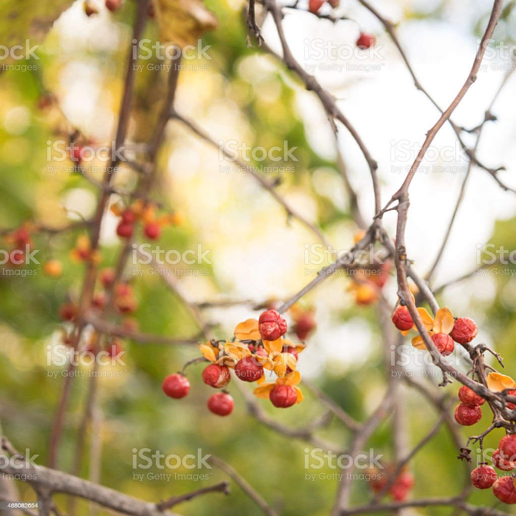 Wild American Bittersweet Vine and Berries in the Woods stock photo