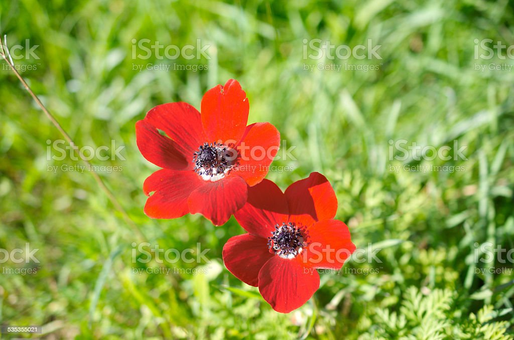 Wild Anemone (windflower) flowers blooming in the Israeli winter stock photo