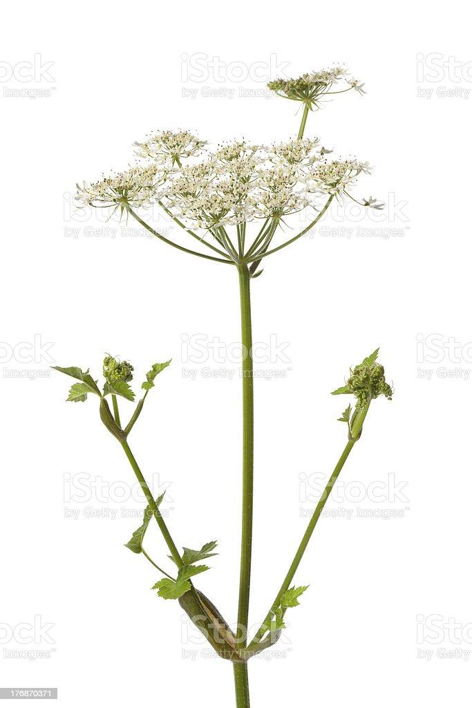 Wild Angelica flower royalty-free stock photo