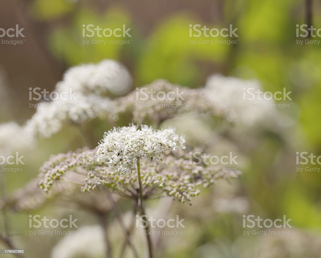 Wild Angelica (A. sylvestris) royalty-free stock photo