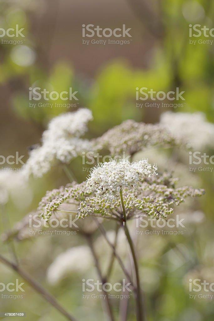 Wild Angelica (A. sylvestris) stock photo