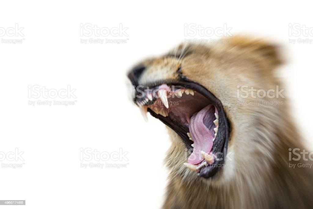 Wild Animal Attacks with a Fierce Bite stock photo