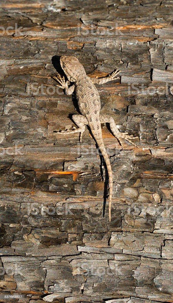 Wild Animal Sagebrush Lizard Forest Reptile Sceloporus Graciosus stock photo