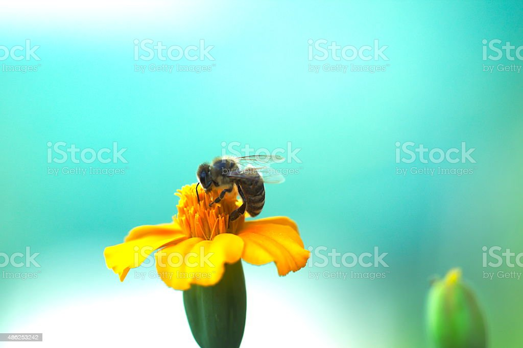 Wild animal - working bee on garden flowers stock photo