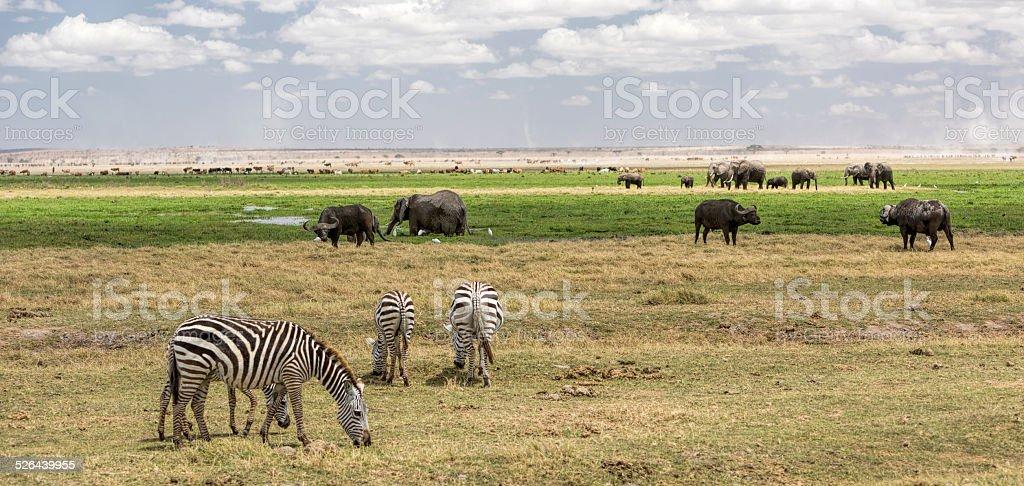Wild animals and cattle in Amboseli National Park Kenya. stock photo