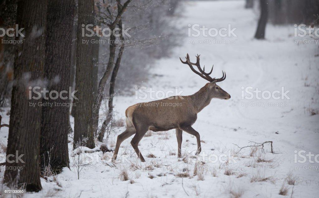 Wild animals feeding on snow stock photo