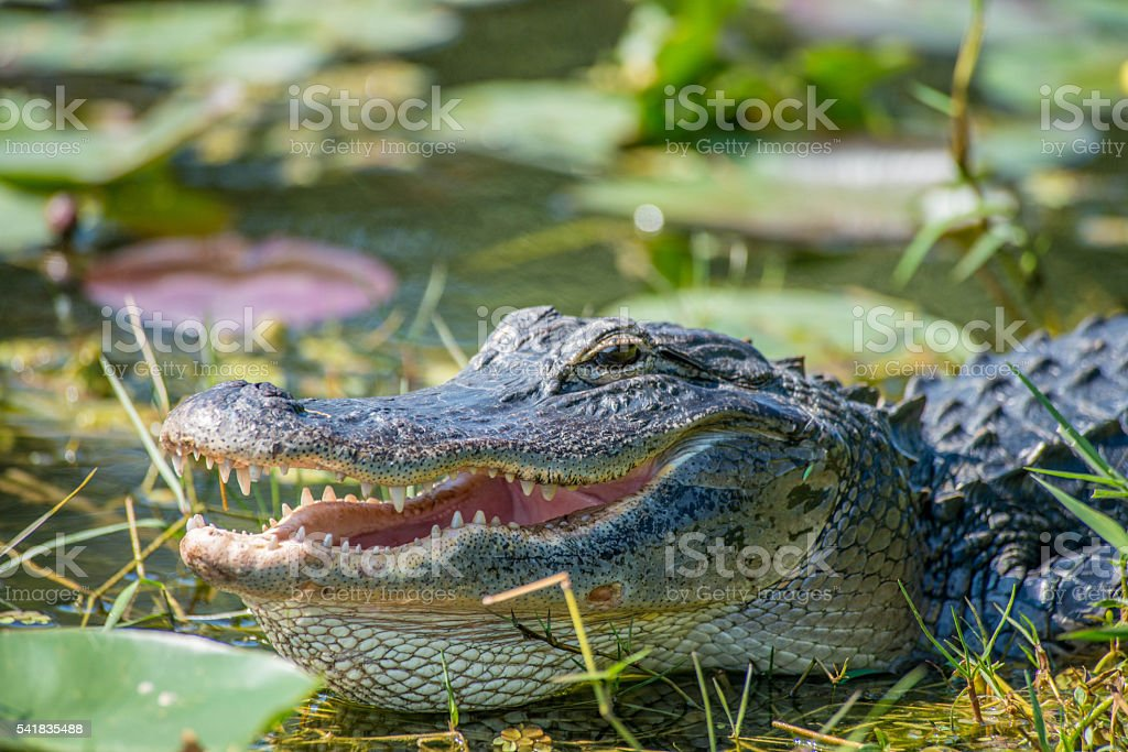 Wild Animals With Open Mouth stock photo