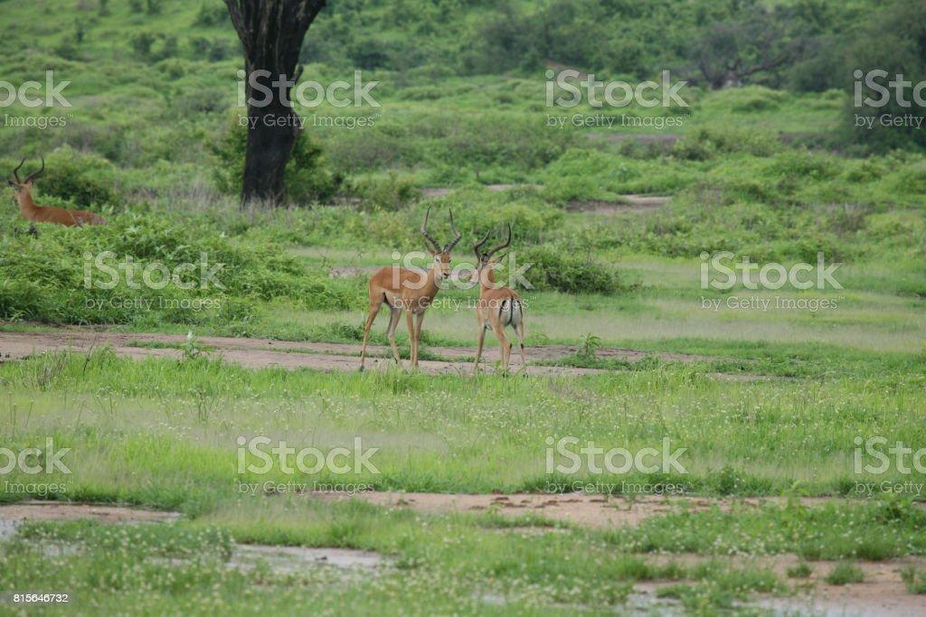 Wild Antelope mammal in African Botswana savannah stock photo