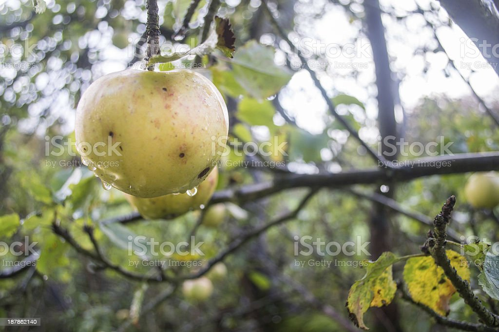 Wild Apple on a Branch royalty-free stock photo