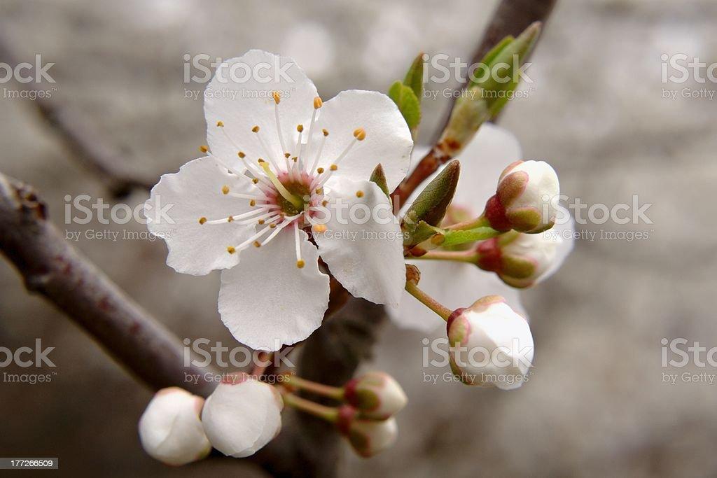 wild apple tree flower royalty-free stock photo