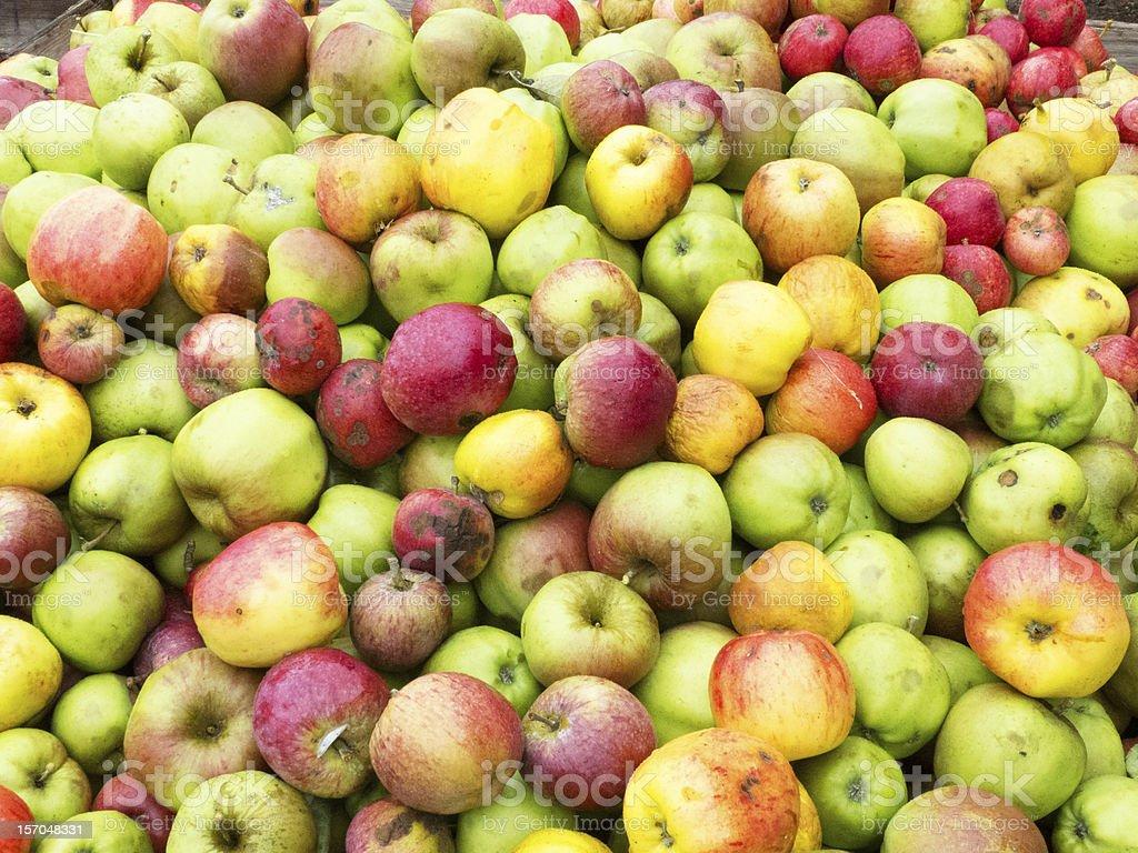 Wild apples in the bin stock photo