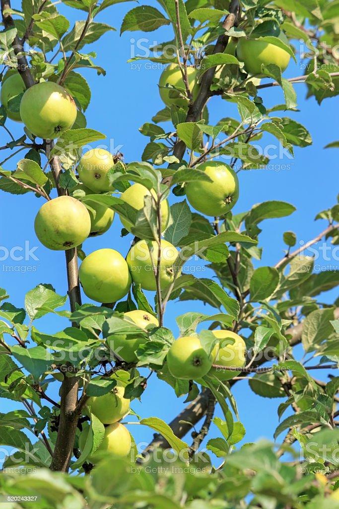 Wild apples royalty-free stock photo