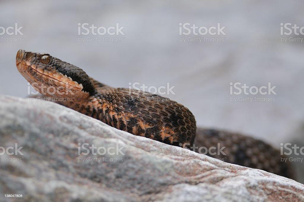 wild asp viper on rock stock photo