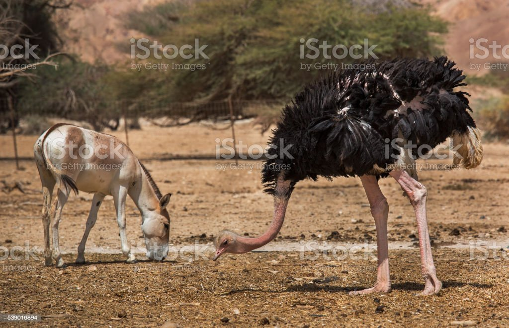 wild ass and ostrich stock photo