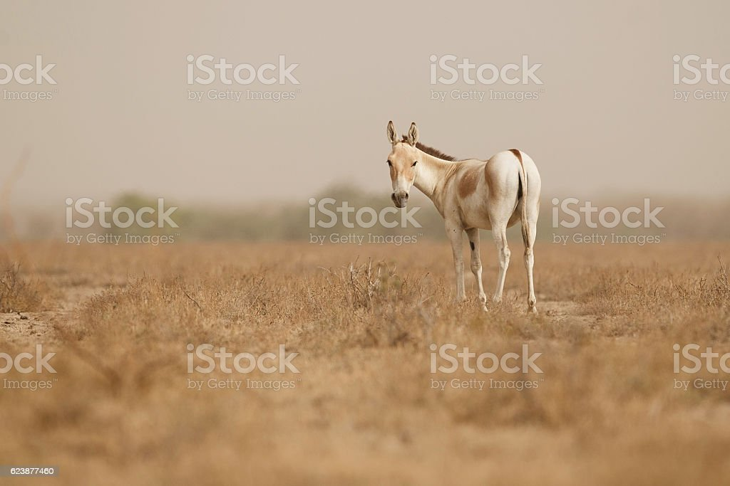 wild ass in the desert little rann of kutch stock photo