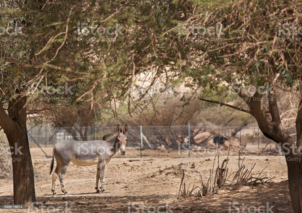 wild ass in the desert stock photo