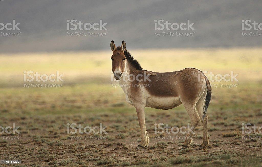 Wild Ass -Kiang royalty-free stock photo
