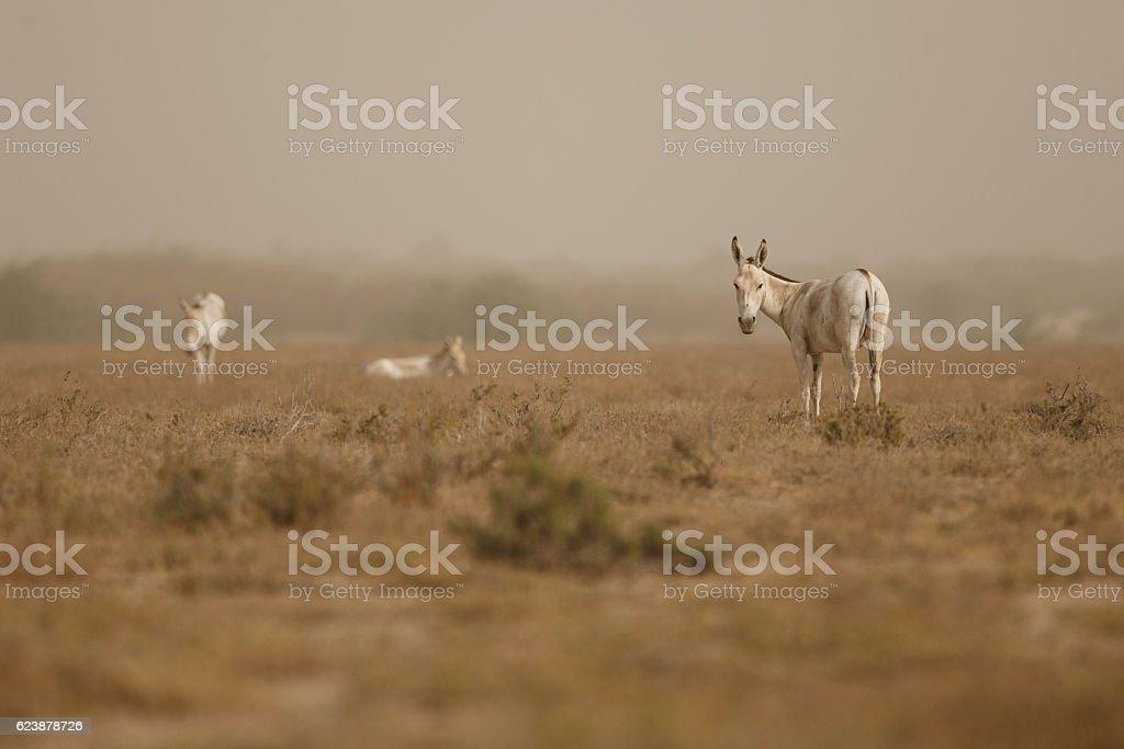 wild asses in the desert little rann of kutch stock photo