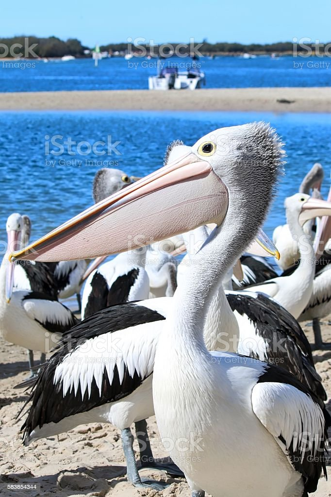 Wild Australian Pelicans stock photo