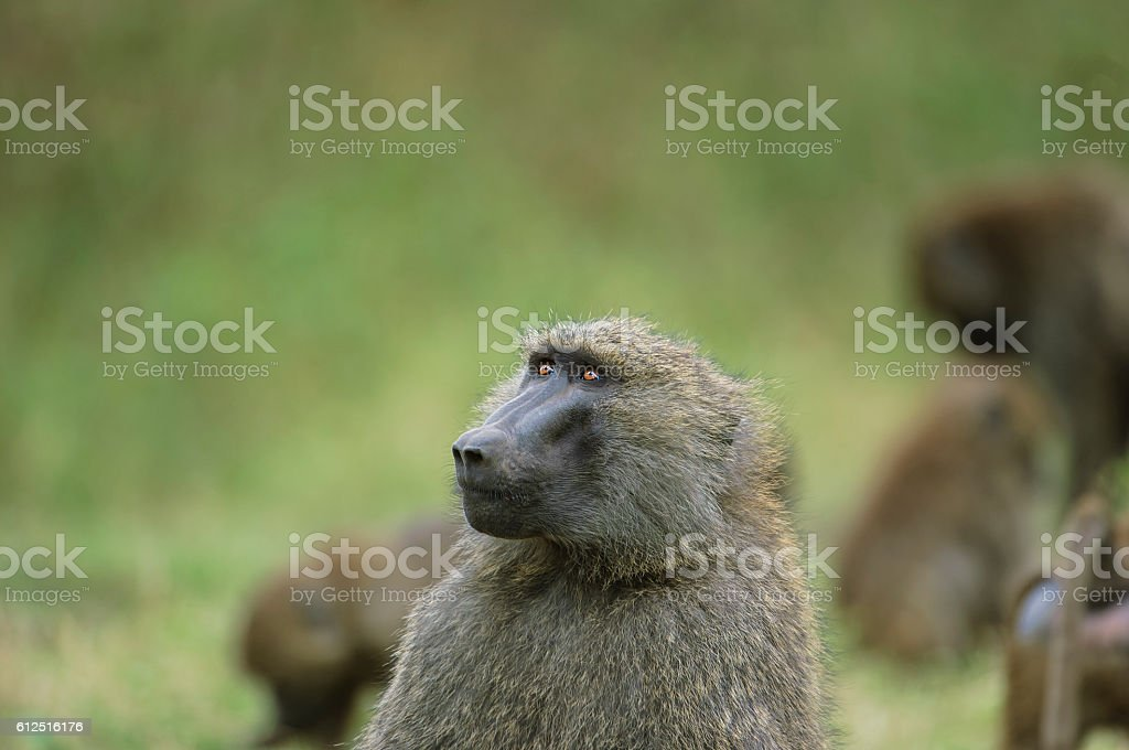 Wild Baboon Looking Off to Side stock photo