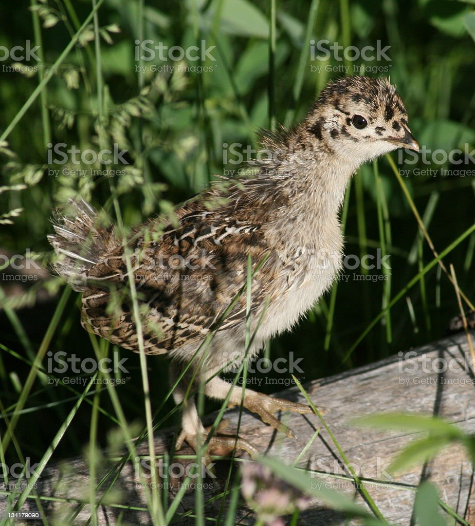 Wild Baby Grouse Chick stock photo