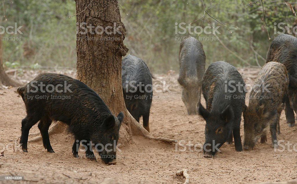 Wild Baby Hogs Feeding stock photo